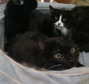 Pannda n Aslan in a kitty basket at SoCo with another black kitty resident.